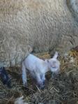 the last lamb of the season